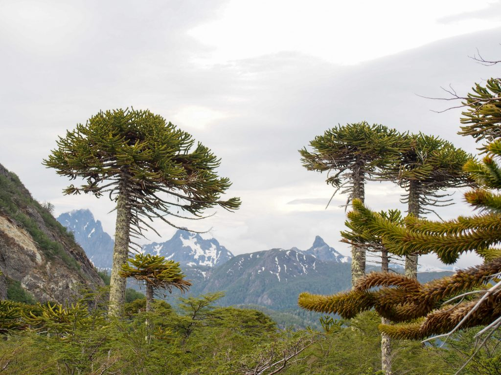 Chilenische Araukarien